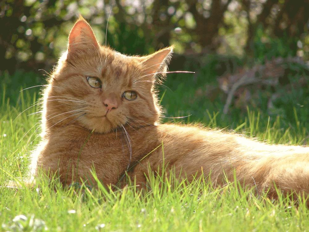Rød Huskat