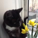 kattensliv.dk - Påskeliljer og katte