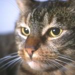 www.kattensliv.dk_Kat_med_eksem_Sygdomme hos Katte