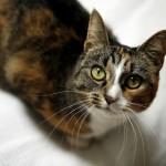 www.kattensliv.dk_Sygdomme_hos_Katte