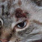 kat-med-hudkræft-i-hoved-www.kattensliv.dk