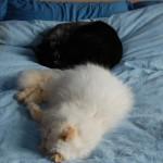 Tilværelsen-med-to-kraeftramte-katte-www.kattensliv.dk